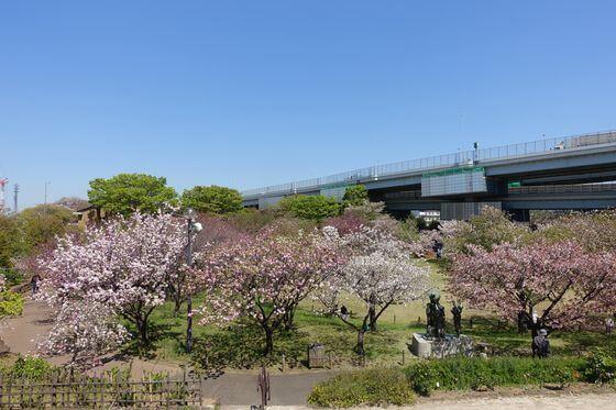 都市農業公園 足立区 桜