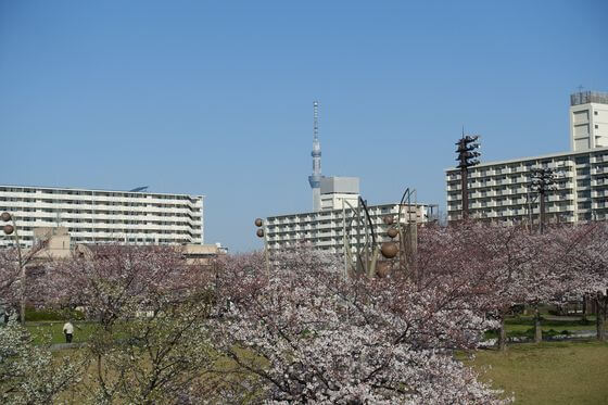大島小松川公園 江戸川区 桜