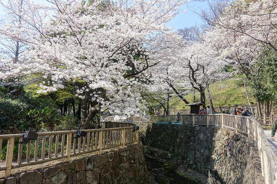 音無親水公園 北区 桜