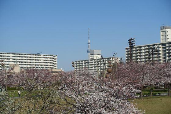 大島小松川公園 江東区 桜
