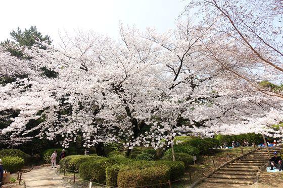 哲学堂公園 中野区 桜