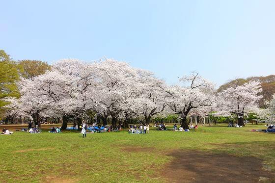 代々木公園 渋谷区 桜
