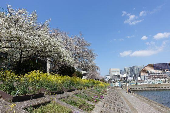 しながわ花海道 桜