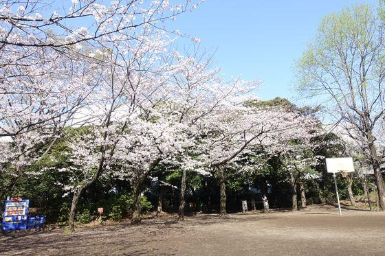 しながわ区民公園 桜