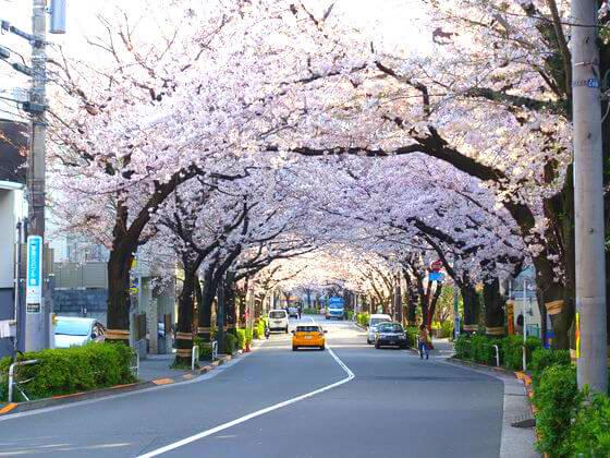 かむろ坂 品川区 桜