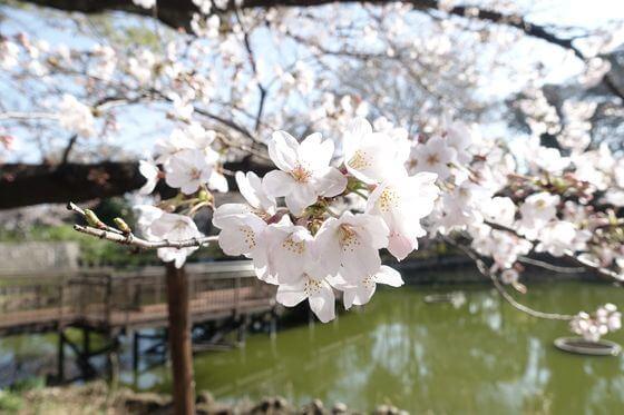文庫の森 品川区 桜