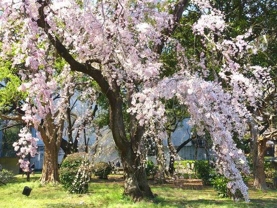 東京国立博物館 台東区 桜