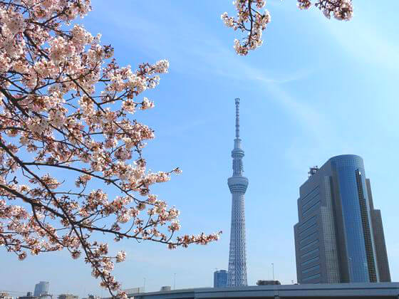 隅田川 台東区 桜