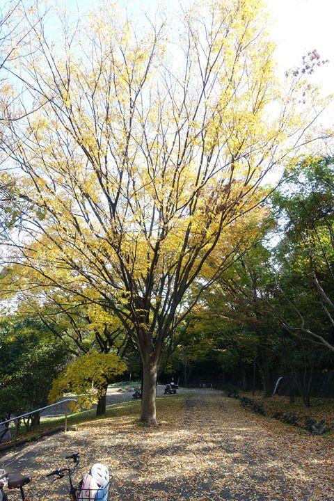 日吉公園 銀杏