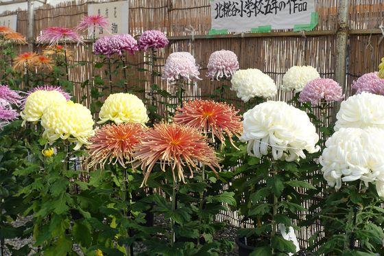 大田区 菊花展