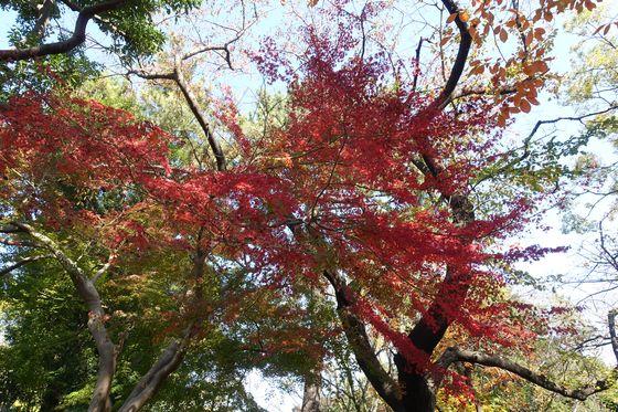本門寺公園 楓