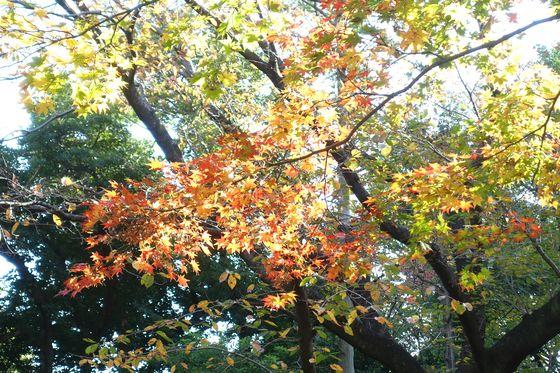 戸越公園 楓
