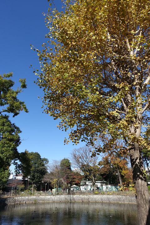 碑文谷公園 銀杏