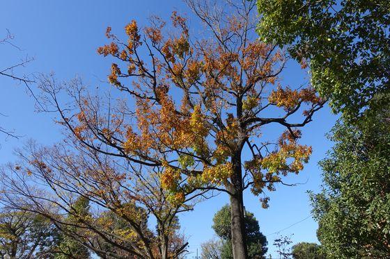 碑文谷公園 紅葉 見頃