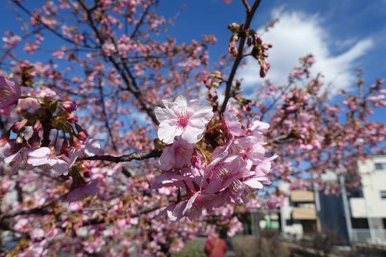 日吉 河津桜