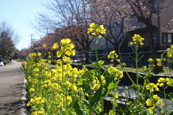 江川せせらぎ遊歩道 菜の花
