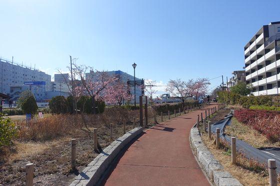 鮫洲入江広場 カワヅザクラ