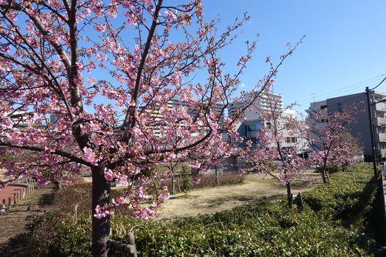 鮫洲入江広場 河津桜 現在