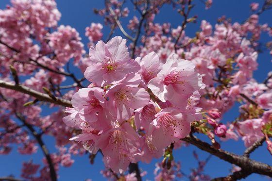 品川区 河津桜