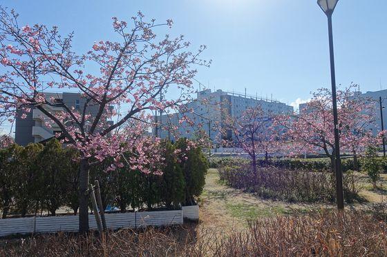品川 河津桜