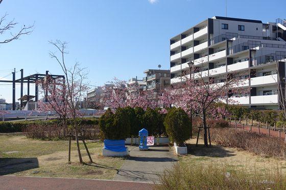 鮫洲 河津桜