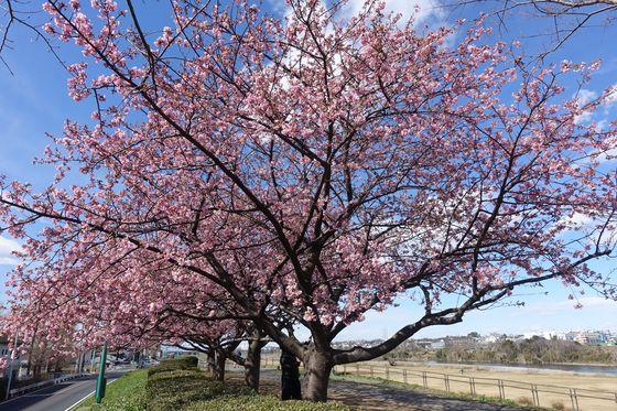 川崎 河津桜