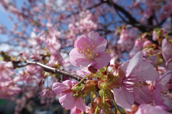 多摩川 河津桜 現在