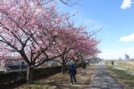 川崎市 河津桜