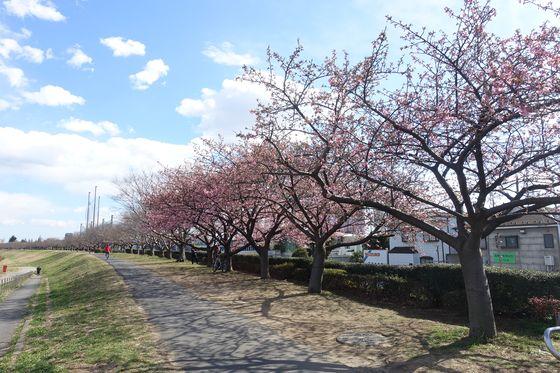 等々力緑地 河津桜