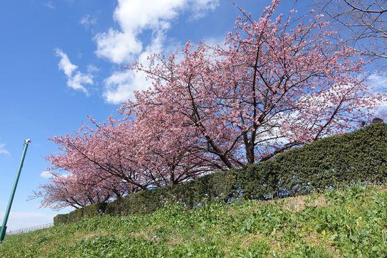 多摩川 カワヅザクラ