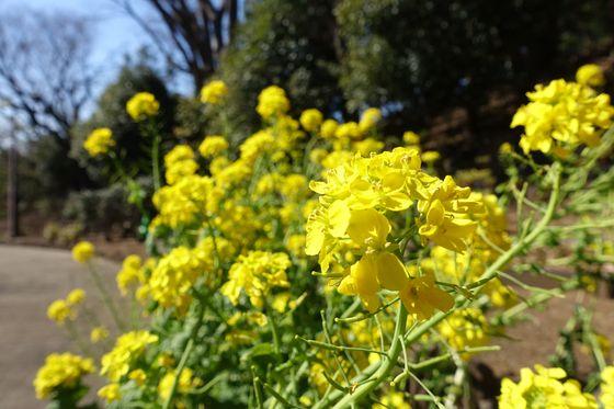 横浜市 菜の花