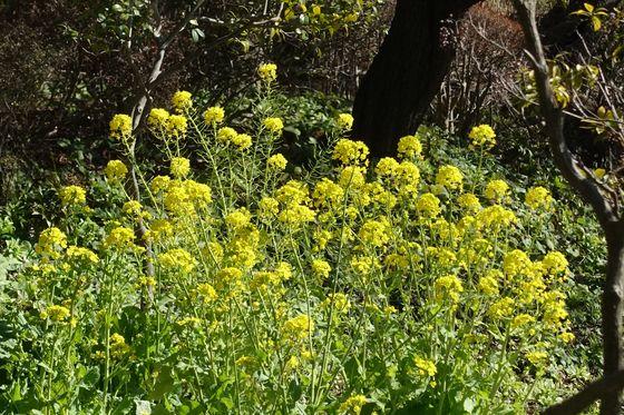 鶴見区 菜の花