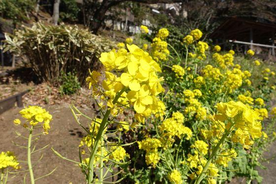 横浜市鶴見区 菜の花