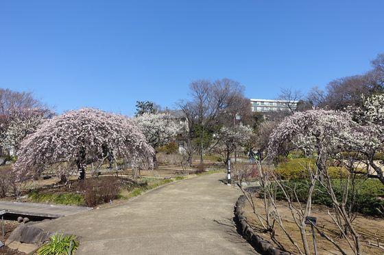 馬場花木園 梅林