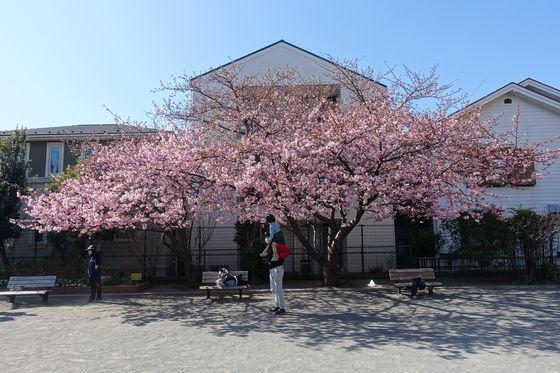 大曽根第二公園 河津桜