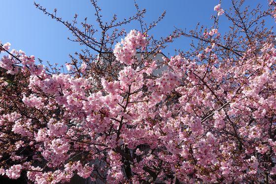 大倉山 河津桜