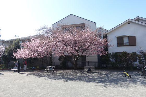 河津桜 大曽根第二公園