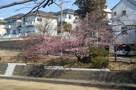 河津桜 すみれが丘公園
